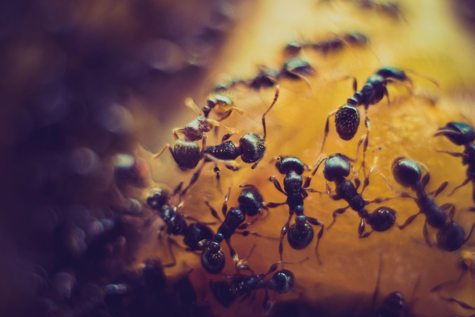 macro photofraphy of black ant